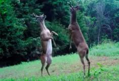 «Не хотят попортить себе рогокюр». Два оленя подрались так, что сразу стали мемом