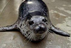 В Петербурге на набережную вышел тюленёнок. Его спасли