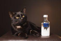 Кошка сильно отравилась, налакавшись антифриза. Ветеринары вылечили её водкой