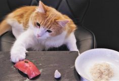 Ролик японца, готовящего суши для нетерпеливых котиков, набрал миллион просмотров на YouTube