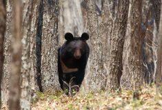 Ругающийся финн прогнал медведя с крыльца шваброй так, будто это нашкодивший кот