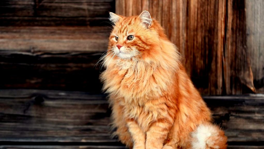Туристы призвали спасать легендарного рыжего котика Кешу, хранителя Кижей. Но поторопились