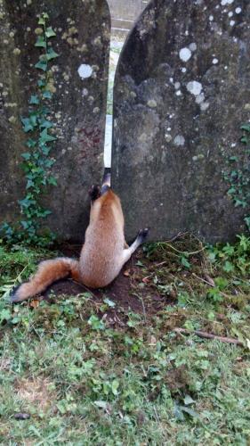 Фото: лиса застряла между двумя надгробиями. Никто не понимает как