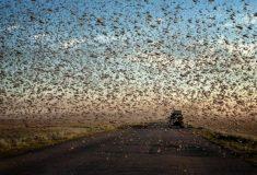 Казнь египетская. Масштабное нашествие саранчи на юг России и Казахстан в фото и видео из соцсетей