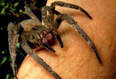 Человек дал поползать по себе самому ядовитому пауку в мире, чтобы доказать: не такой уж он и страшный