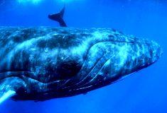 40-тонная горбатая китиха целиком выпрыгнула из воды. Такого раньше никто не снимал