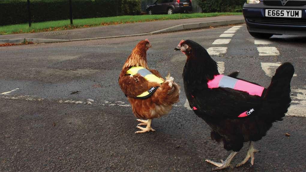 Зачем курице дорожный жилет. Это не британская шутка, а реальное британское явление, удивившее интернет