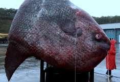 Русские рыбаки поймали на Итурупе гигантскую рыбу-луну весом больше тонны. И скормили её медведю