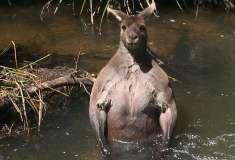 Как дела в качалке, пацаны? Вам никогда не выглядеть так же круто, как этот мускулистый кенгуру