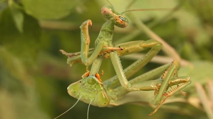 Сексуальные самки спариваются