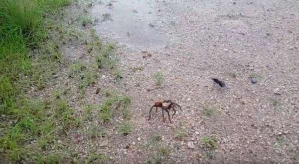 Видео смертельной схватки осы итарантула набирает популярность винтернете
