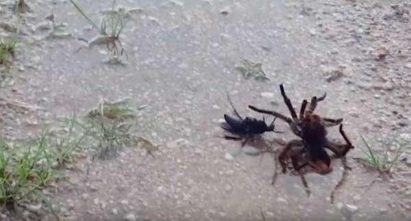 Смертельную схватку осы итарантула сняли навидео