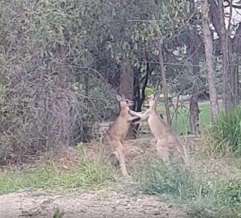 ВАвстралии мужчина «помирил» дерущихся кенгуру