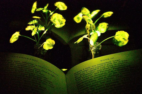 Выращены растения, которые светятся втемноте— Освещение будущего