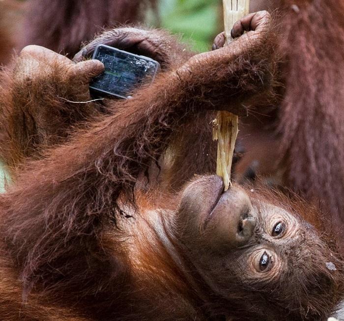 Секс девочки орангутан