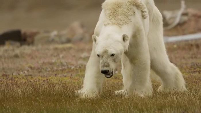 Видео сумирающим отголода белым медведем ужаснуло интернет-пользователей