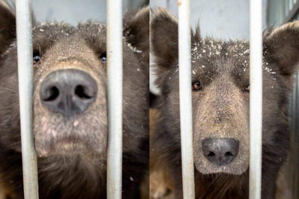 Грустная медведособака из Челябинска прославилась на весь мир. Но ей от этого не легче ???