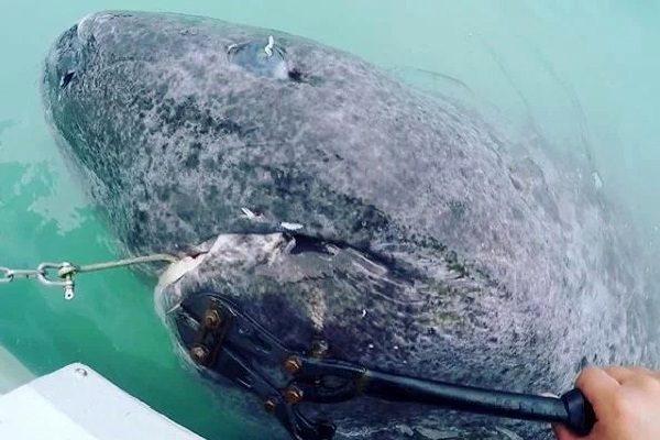 ВСеверной Атлантике ученые отыскали древнейшую 512-летнюю живую акулу