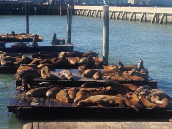 Тюлень из фильма «Челюсти». В Сан-Франциско закрыли порт из-за нападений неизвестного морского льва на людей