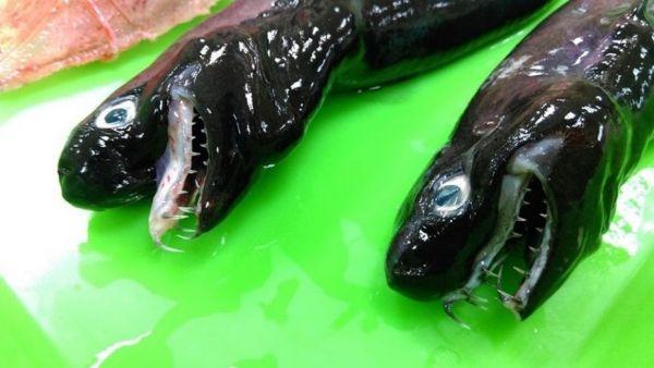 НаТайване рыболовы  словили  редкую акулу сраздвижными челюстями