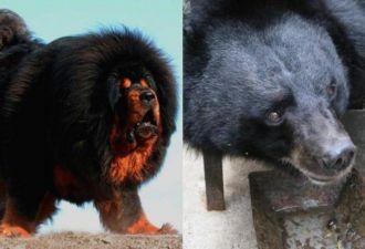 Китаец два года заботился о собаке, а она оказалась медведем. А избавиться от медведя непросто