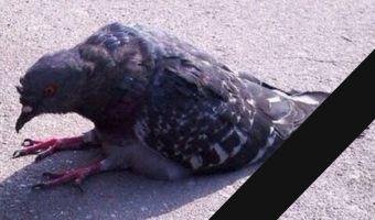 На последнем звонке в небо попытались запустить мёртвого голубя. Оказалось, он просто не захотел лететь
