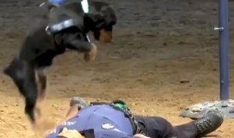 Пёс спас полицейского, сделав ему непрямой массаж сердца. И хотя это учения, смотреть на них спокойно нельзя