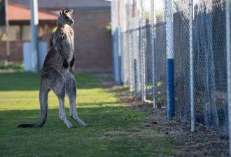 Двуногим пришлось отложить матч по футболу, потому что поле захватил кенгуру. Типичная Австралия