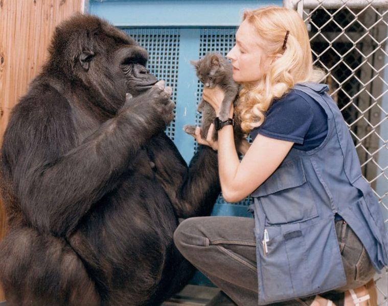 Прощай, Коко. В Калифорнии умерла горилла, умевшая говорить на языке жестов и любившая нянчить котят