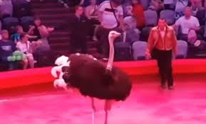 В Казанском цирке страус рассвирепел и бросился на перепуганных зрителей. Но их никому не жалко