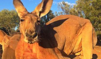 В австралийском заповеднике завёлся двухметровый кенгуру-гопник. Его боятся даже смотрители