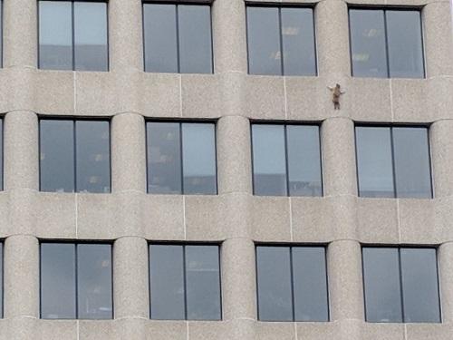 Енота, забравшегося на23-й этаж небоскреба, пробуют спасти вСША