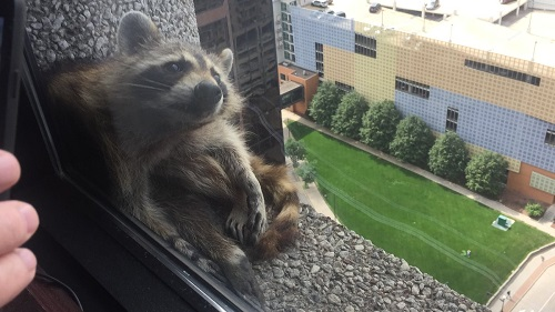 Енот-паук забрался на 23-этажное офисное здание: видео