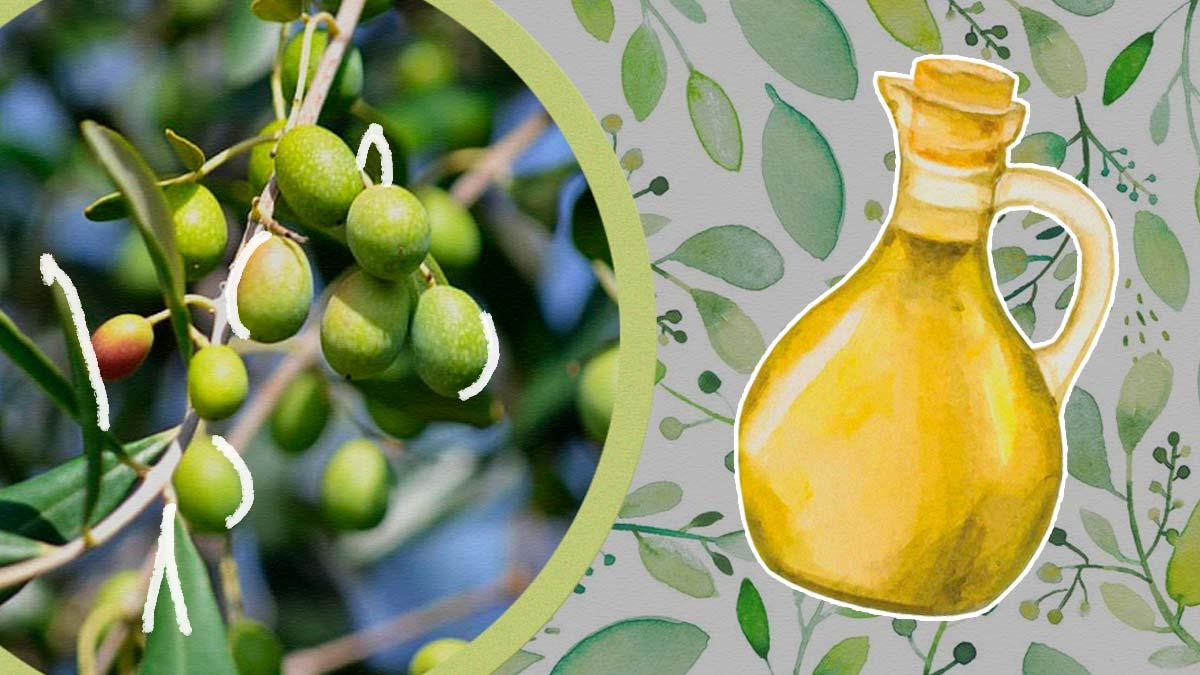 Солнце, оливки и сила Геракла. Как выбирать оливковое масло и в чём его польза