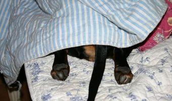 Фокус «прятки от собаки за одеялом» вышел на новый уровень. Но и пёсели нашли способ противостоять коварству
