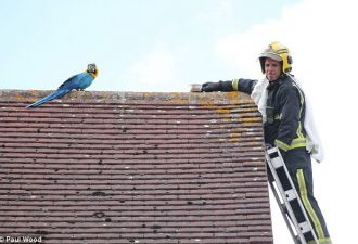 Пожарный в попытке спасти попугаиху признался ей в любви. Но птица в ответ грубо разбила ему сердце