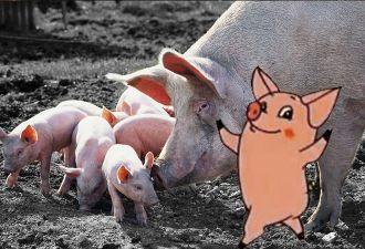 Американка купила себе милого мини-пига, но ей подложили свинью. В прямом смысле