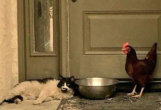 Кот и курочка спаслись от пожара. Они прошли вместе через ад и сдружились так, что есть чему поучиться