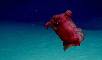 Учёные нашли в океане глубоководную безголовую курицу. И это умеет не только плавать, но и танцевать фламенко