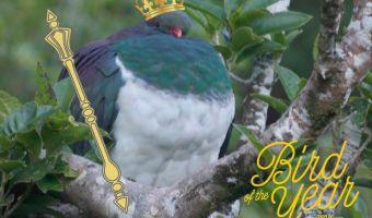 В Новой Зеландии птицей года стал пьяный голубь. Да, мы серьёзно, но не спешите смеяться