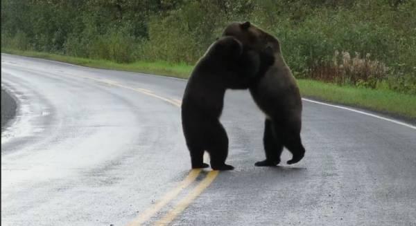 Медведи подрались, и их драка похожа на разборку алкоголиков