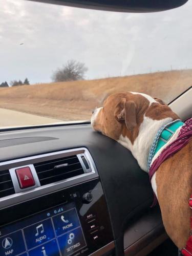 Девушку обокрали и увезли самое ценное - собаку. Пёс нашёлся за 2 тысячи километров, но смог вернуться домой