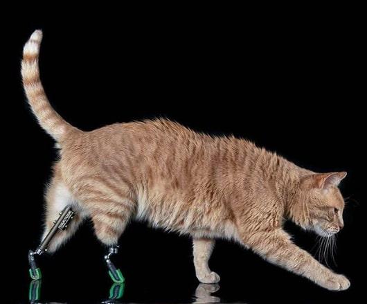 Котофей так жёстко подрался с сородичами, что остался без ног. Но травма сделала его героем и звездой соцсетей