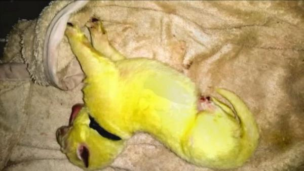В США родился Халк, и это кроха-щенок. С супергероем у него общий не только характер, но и цвет