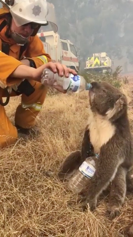 Люди хотели напоить коалу в Австралии, но сделали лишь хуже. Бедный зверь захлебнулся