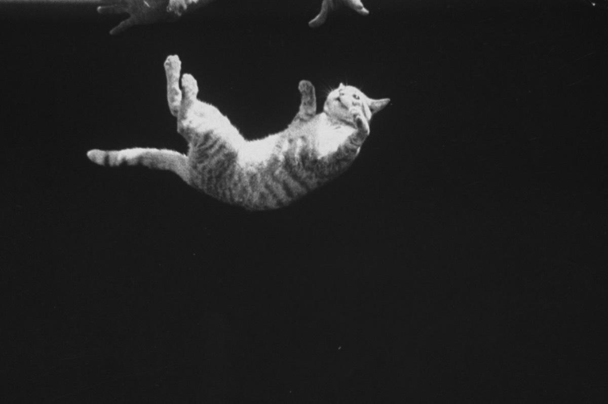 Кошка (не) всегда приземляется на лапы. Люди увидели эксперимент, о котором их котики очень пожалели