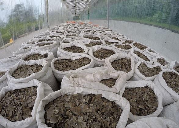 Распространителем коронавируса могли стать загадочные звери панголины. Они очаровательны, но китайцы едят и их