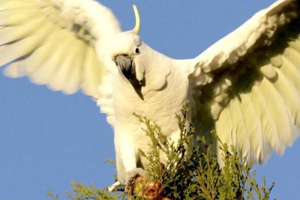 Голодный попугай - горе в стране. Подсевшие на опиум пернатые наркоманы сеют хаос в Индии и Австралии