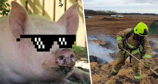 Свинья устроила настоящую диверсию на ферме и подожгла её. А помогли ей в этом химия и рассеянность фермера