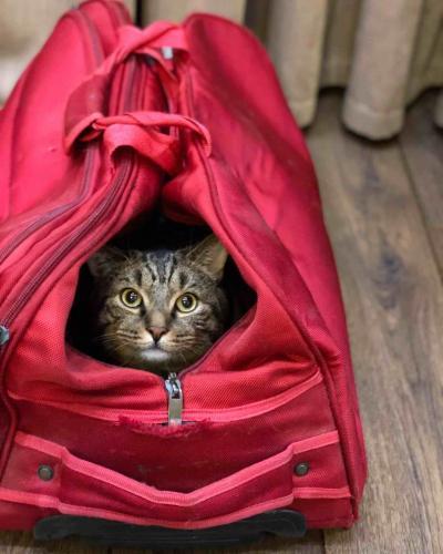Кот Виктор остаётся толстым, но всё равно полетит в салоне самолёта. S7 изменила правила будто только для него
